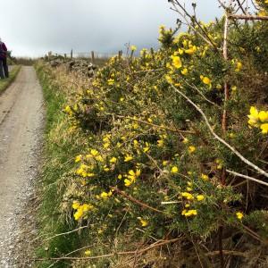 Gorse Cullohill Mountain Spring Ireland