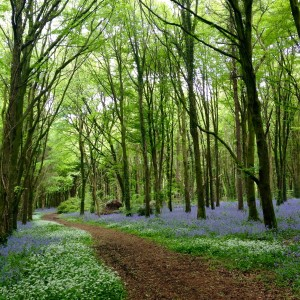 Dunmore Woods Durrow Leafy Loop Laois Ireland Bluebells