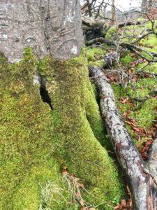 Glinsk Castle loop walk Slieve Bloom Mountains Offaly Tree trunk