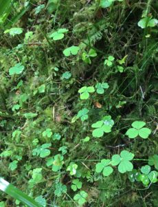 Wood sorrel foraging herb slieve bloom mountains Laois Offaly Ireland's ancient east Ireland