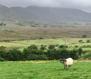 Sheep Kerry Way Sneem to Staigue walking trail Wild Atlantic Way Ireland