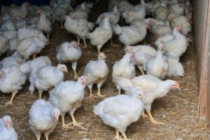Butler's Family Farm Free range chickens 6 weeks old