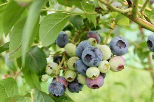 Blueberries ripening rose cottage fruit farm laois ireland