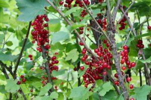 Rose cottage fruit farm Laois redcurrants