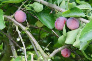 opal plums rose cottage fruit farm laois ireland