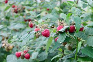 raspberries rose cottage fruit farm laois