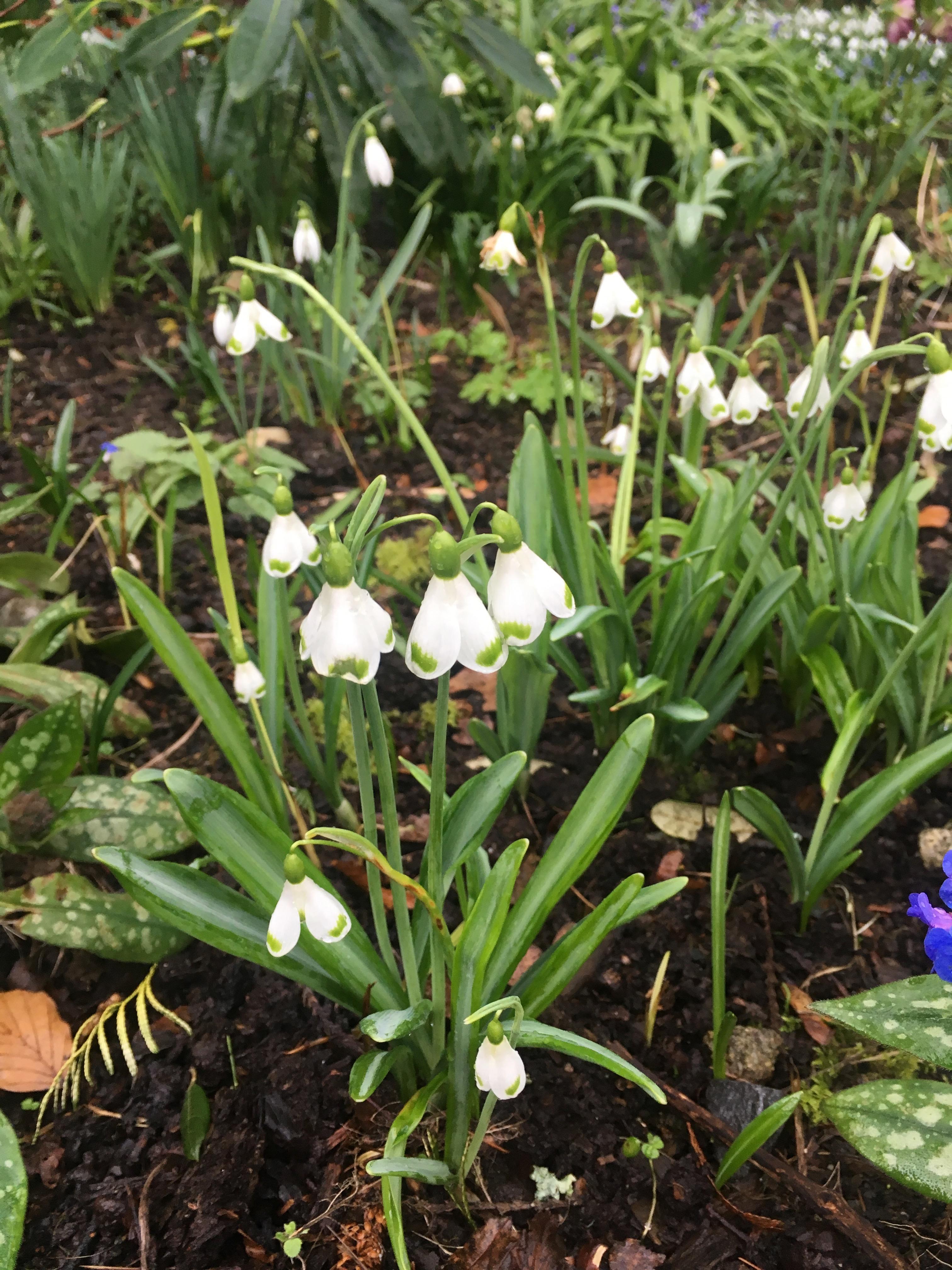 Galanthus Plicatus Trym Snowdrop Altamount Gardens Carlow Garden trail Ireland's Ancient eaST
