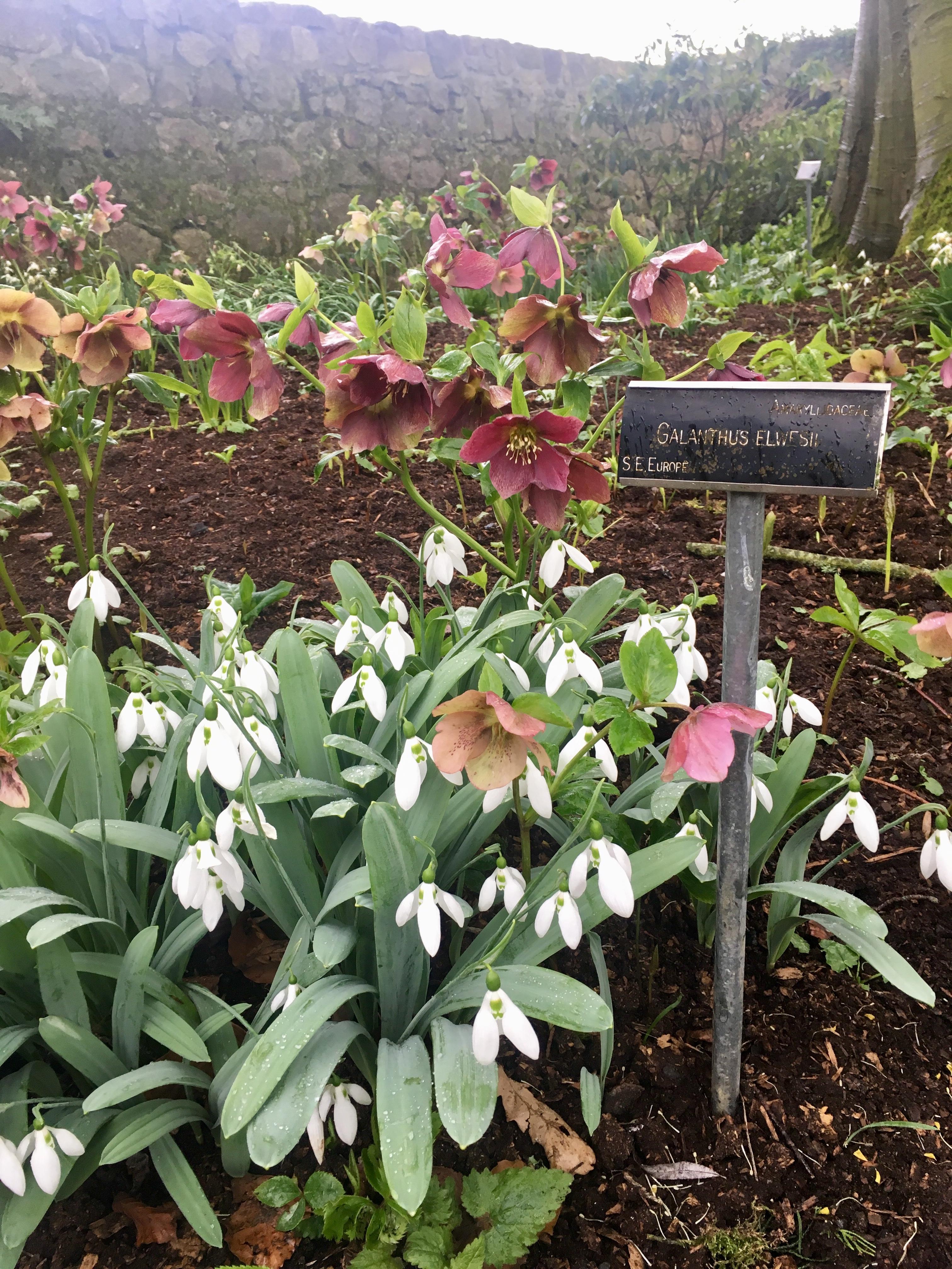 Snowdrops Elwseii Altamont Gardens Carlow Garden trail Ireland Ireland's Ancient eaST snowdrop Month walks