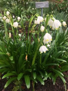 Snowflake Altamount Gardens Carlow Garden trail Spring time Ireland February Snowdrop month